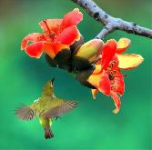 Beauty_of_The_Birds Humming Bird With Red Rose