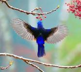 Beauty_of_The_Birds Hummingbird Hangin On Graps