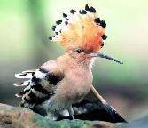 Beauty_of_The_Birds Khud Khati King Bird