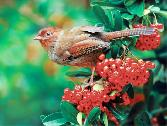 Beauty_of_The_Birds Multicolour Sparrow In Smalll Red Graps