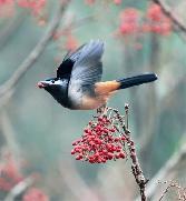 Beauty_of_The_Birds Sparrow Ready To Fly In Sky
