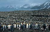 King-Penguin-Festival-3