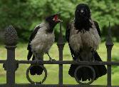 Birds Black Bird Crying