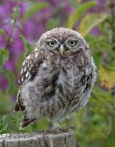 Birds Owl Green Background