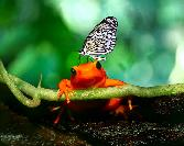Black Butterfly On Red Frog