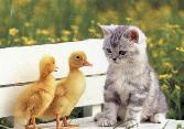 Cat With Chicken