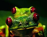 Double Frogs With Red Eyes