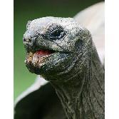 Giant-tortois