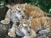 Gold-tiger-cubs