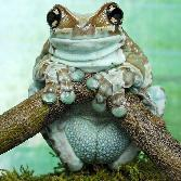 Skycolour Frogs Standing On A Wood Stick
