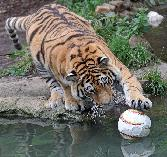 Tiger-football_