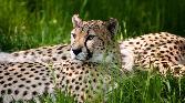 Tiger In Greenary