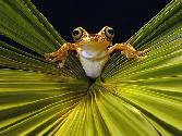 Yellow Frog On Green Big Leaf